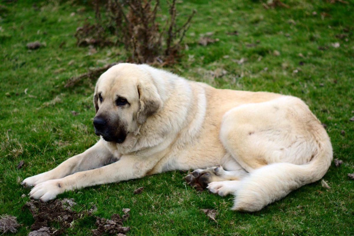 Alimentar a un perro de raza grande